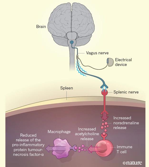 Neuroimmunity: Electri...
